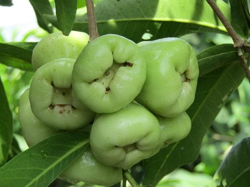 Quả roi - loại quả quen thuộc mà giàu dinh dưỡng