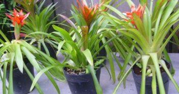 Cây dứa cảnh có độc không khi trồng trong nhà?