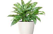 Cây ngọc ngân có độc không? Có nên trang trí cây ngọc ngân trong nhà?