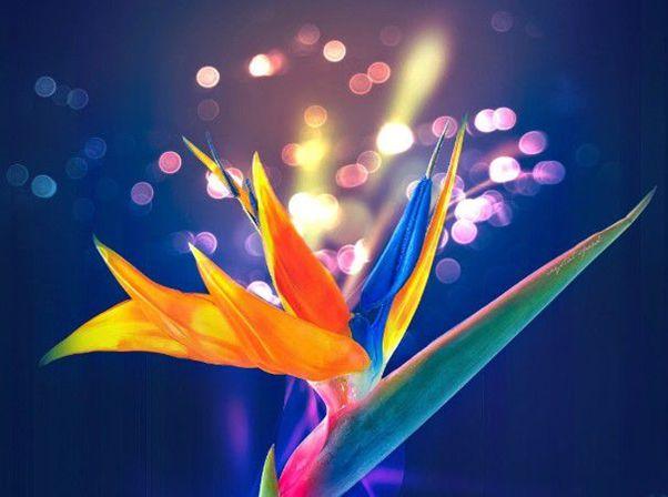 Ý nghĩa của hoa Thiên Điểu - cánh chim hoang dại đầy mạnh mẽ