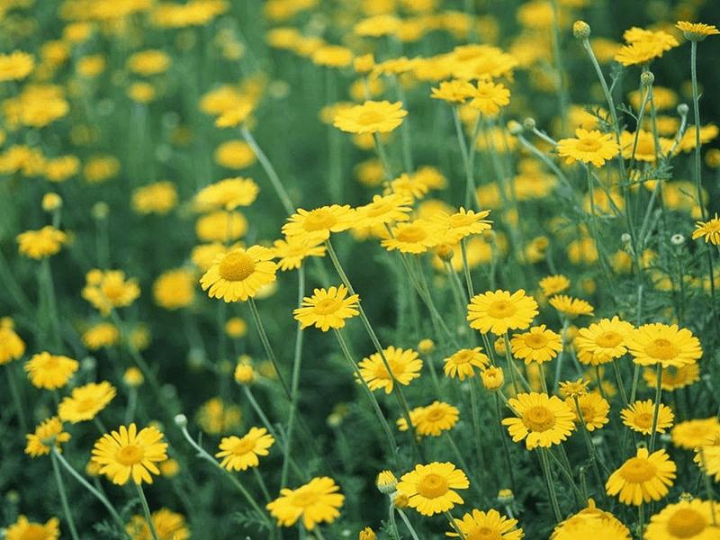 Hoa cúc vàng hợp với người tuổi Dậu mệnh Kim