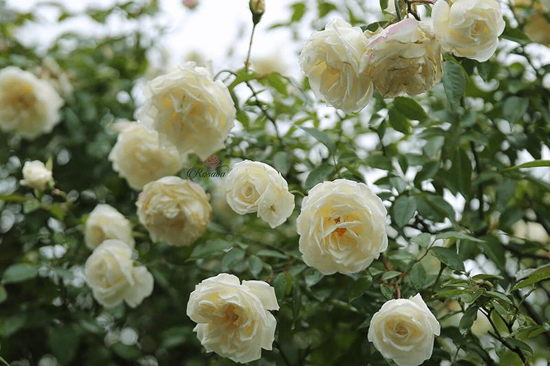 Hoa màu trắng, xanh biển sẽ hợp với mệnh Thủy